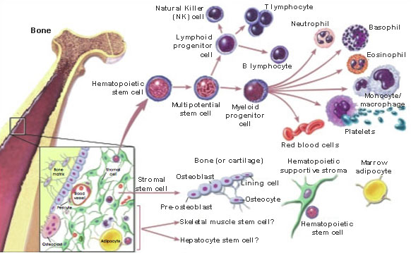 Bone Marrow Stromal Cells