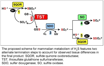 The proposed scheme for mammalian metabolism of H2S features two alternate termination steps to account for observed tissue differences in the final product. SQOR, sulfide:quinone oxidoreductase; TST, thiosulfate:glutathione sulfurtransferase; SDO, sulfer dioxygenase; SO, sulfite oxidase.