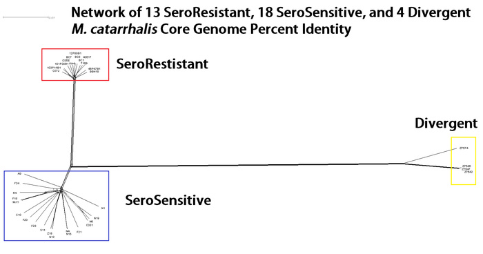 Network of 13 SeroResistant, 18 SeroSensitive, and 4 Divergent M. catarrhalis Core Genome Percent Identity