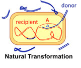 Natural transformation of bacterial DNA