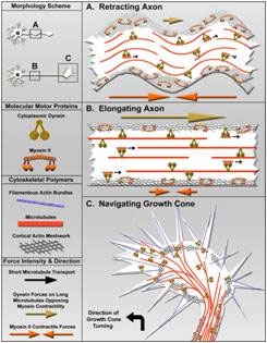 Peter Baas laboratory research image, Retracting Axon / Elongating Axon / Navigating Growth Cone