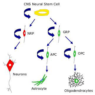 Neural Stem Cells and Progenitors