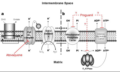 The generation of mitochondrial membrane potential in P. falciparum.