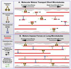 Peter Baas laboratory research image, Molecular Motors Transport Short Microtubules