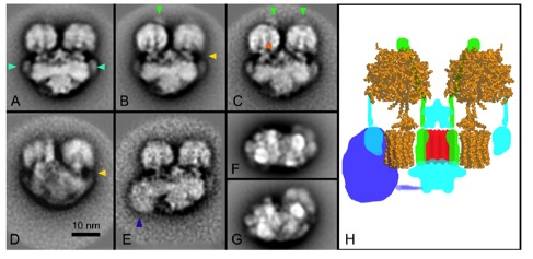 2-D projection maps of dimeric ATP synthase from Tetrahymena thermophila