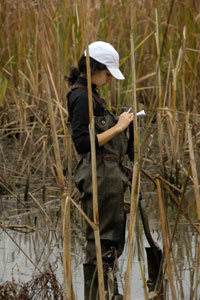 Bees student Raffaela Marano takes notes in Tinicum marsh. Students were examining plant communities along a gradient of elevation or frequency of wetting in the tidal, freshwater marsh.