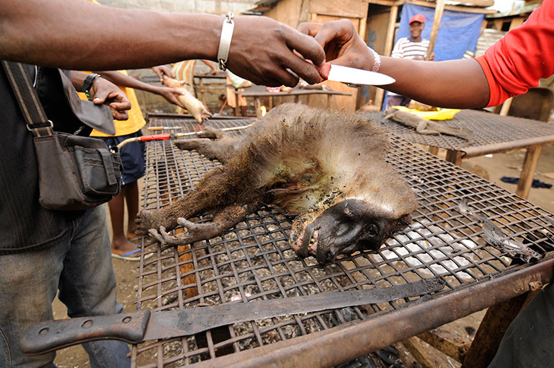Deceased Bioko Monkey