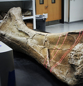 A 3-D scan is taken of the humerus bone from a Paralititan dinosaur