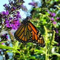 Monarch butterfly rests on a flower