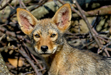Eastern Coyote Pup. Photo © Christian Hunold