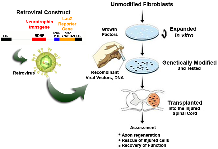 modified fibroblasts research at the fischer lab dep t of