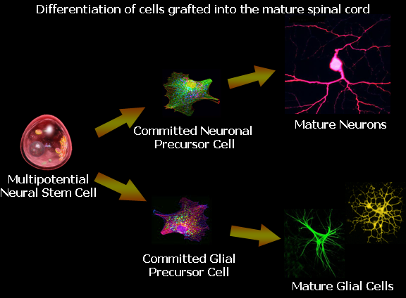 Drexel Fischer Lab: Differentiation of cells grafted into the mature spinal cord