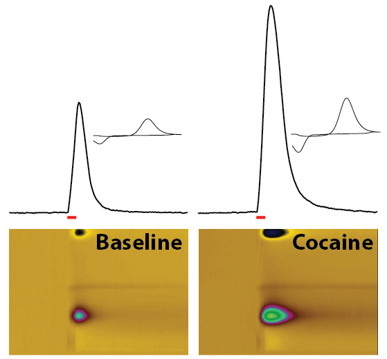 España Lab: Cocaine effects measured using voltammetry in a freely moving mouse.