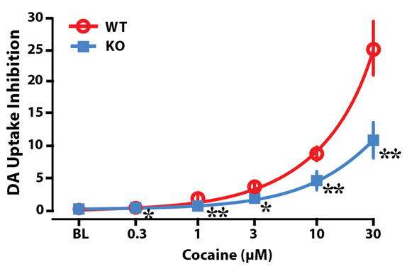España Lab: Mice lacking hypocretin peptides display reduced dopamine responses to cocaine.