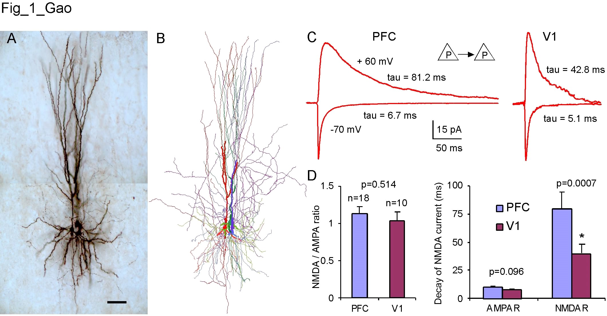 A and B, Biocytin-labeled layer 5 pyramidal neurons from multiple recordings and Neurolucida reconstruction, respectively; C and D, NMDA and AMPA receptor-mediaed currents recorded from the monosynaptic connections between pyramidal neurons in the adult rat prefrontal cortex.