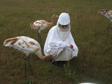 Drexel Engineering Professor on Leave to Help Raise Endangered Whooping Crane Chicks