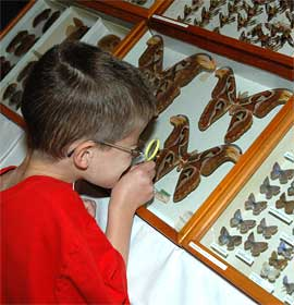Museum visitor examines butterfly and moth specimens during Bug Fest.
