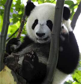 Giant Panda in a tree. Photo by Zhang Zhihe.
