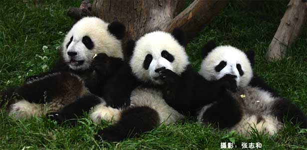 Giant pandas. Photo by Zhang Zhihe.
