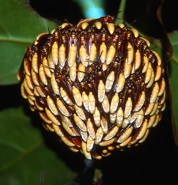 A colony of paperwasps, Apoica pallens