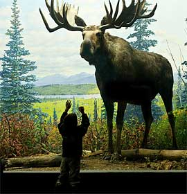 Moose diorama in the Academy's North American Hall