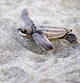 Baby leatherback sea turtle. Credit: Jimmy G (jimmyweee) http://www.flickr.com/photos/jimmyg/183138216/