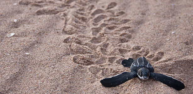 Leatherback sea turtle hatchling on the beach. Credit: Jolene Bertoldi / ZA Photos http://www.flickr.com/photos/za-photos/5406890987/