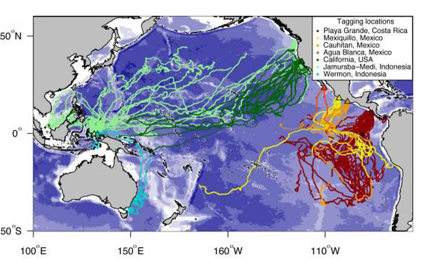 Map showing Pacific migration routes for leatherback sea turtles tracked in the study.