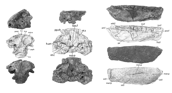 Portions of the skull (left and center) and lower jaw (right) of Holoptychius bergmanni. Credit: Academy of Natural Sciences of Drexel University, with drawings by Scott Rawlins.