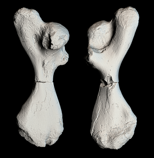 3-D scan of the two broken turtle limb fossils from <i>Atlantocheyls mortoni</i> shows a detailed view of their surfaces. Credit: Jesse Pruitt, Idaho Museum of Natural History