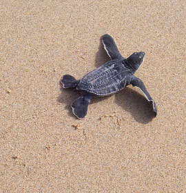 Baby leatherback turtle on the beach