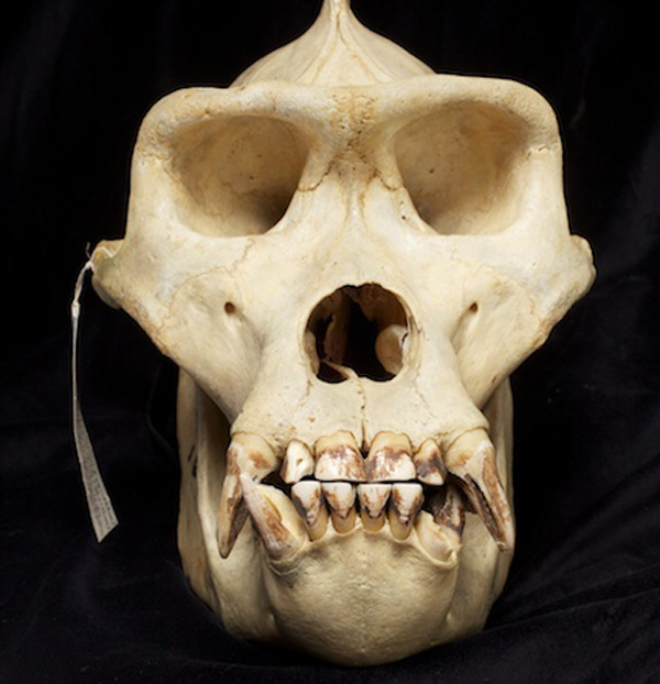Gorilla skull from the Academy of Natural Sciences