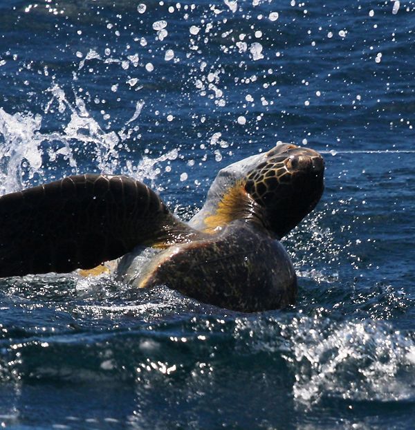 A green sea turtle caught on a fishing longline in the eastern Pacific near Costa Rica