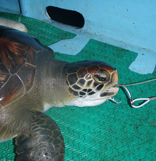 This green turtle was captured on a fishing longline in Pacific waters near Costa Rica.