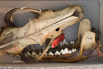 Wolf skull in the Academy's mammalogy collection