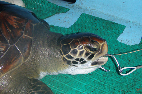 Sea turtle with line in its mouth