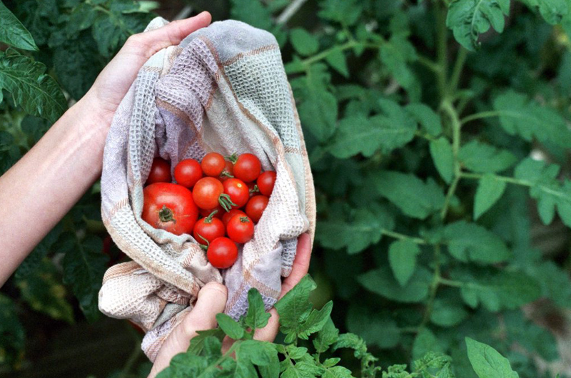 Tomatoes are among the products that can be had through the Delaware Valley Farm Share at Drexel. Photo by Plutor.