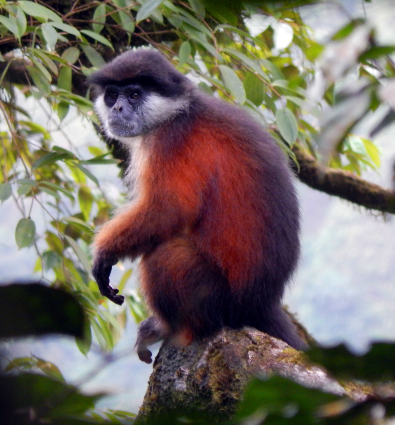 Pennant's red colobus (Procolobus pennantii), a species endemic to Bioko, which is restricted to the remote southwest of the island. Credit: Araks Ohanyan/BBPP