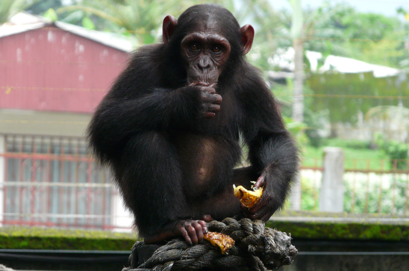 A Nigeria-Cameroon chimp rescued from illegal animal trafficking who now lives at the Limbe Wildlife Center in Cameroon. Credit Paul Sesink Clee