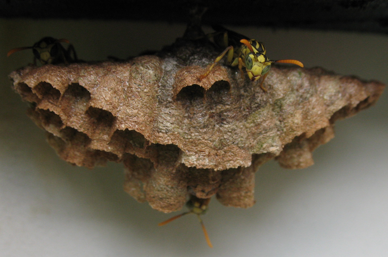 wasp colony