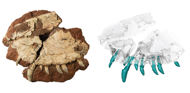 The Dimetrodon fossil, at left, with the CT scan of it used by the Canadian research team led by the University of Toronto Mississauga's Kirsten Brink, PhD. Photo courtesy of Kirsten Brink.