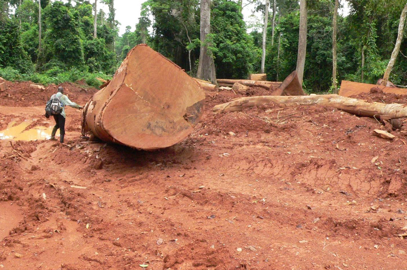 Legal and illegal logging increased more than 600 percent in Ghana during a 15-year period. Photo credit: Nicole Arcilla.