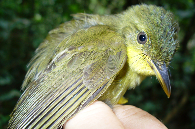 The researchers' capture data showed a 90 percent decline of the icterine greenbul species. Photo credit: Nicole Arcilla.