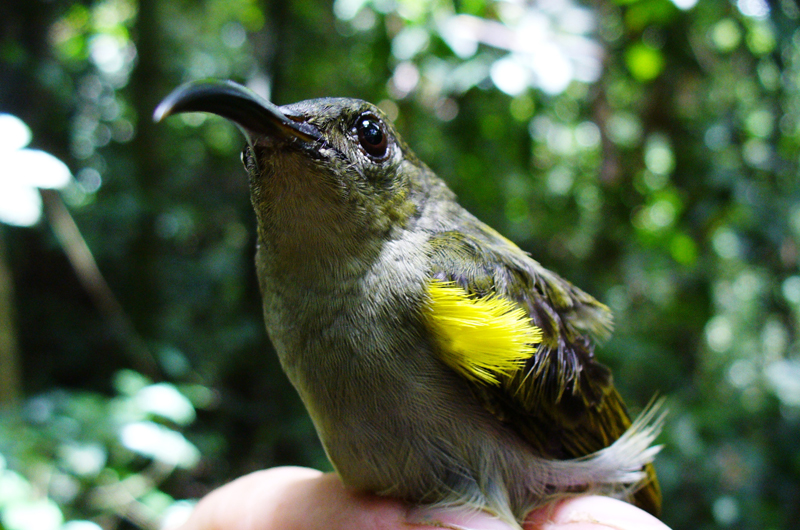 The olive sunbird declined in abundance by approximately 50 percent in 15 years. Photo credit: Nicole Arcilla.