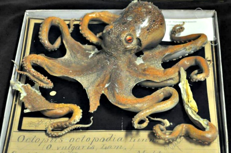 This octopus is one of many Blaschka items held by the Academy of Natural Sciences.