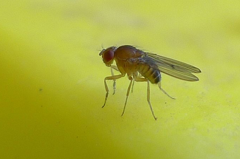 A fruit fly on a compost pile. Photo by John Tann.