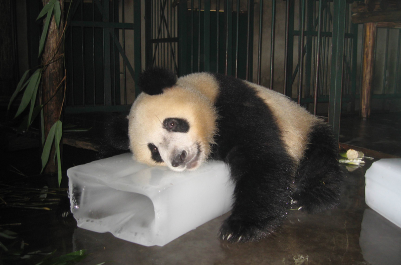 A giant panda cooling off with a block of ice. Photo by Mingxi Li.