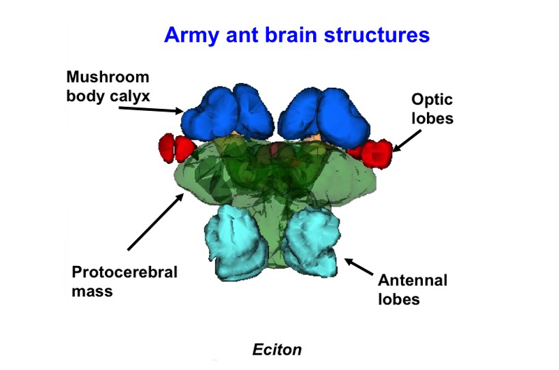 A diagram depicting the different sections of an ant's brain.