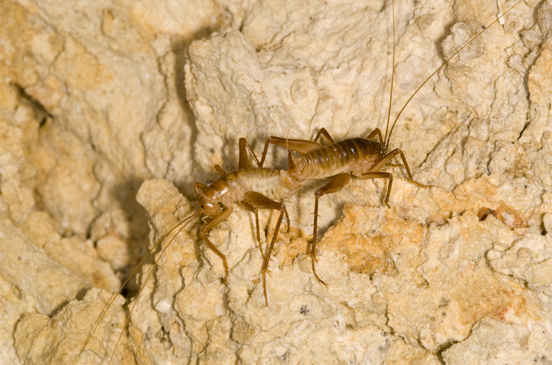 A pair of Ceuthophilus crickets.