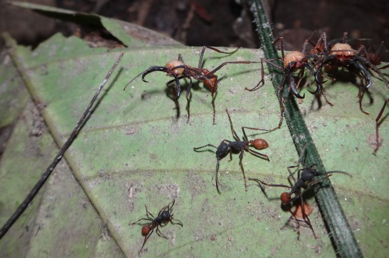 Eciton burchellii ants, among the above-ground species that appeared to regrow the parts of the brain used for sight.